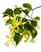 Branch of linden with flowers — Stock Photo