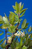 Honeysuckles flowers on the sky background — Stock Photo