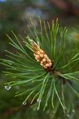 Pine branch with strobile — Foto de Stock
