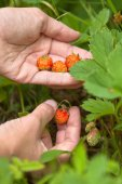 Gathering of forest strawberries — Stock Photo