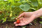 Encontro de mão de morangos — Fotografia Stock