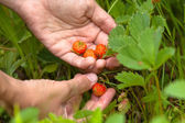 Hand gathering of forest strawberries, closeup — Stock Photo