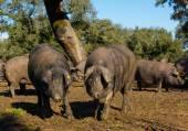 Black Iberian pigs — Stock Photo
