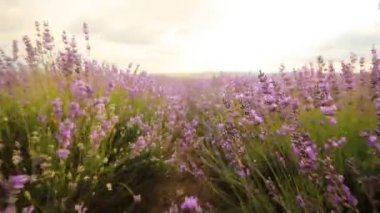 Lavender flowers close-up — Stock Video