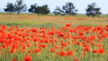 Poppy field — Stock Video