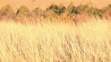 Yellow sunrise grass — Stock Video