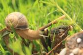 Snail on the grass — Stock Photo