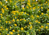 Macro view of yellow flowers with dew on it — Stock Photo