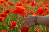 Hand on poppy field close-up — Stock fotografie