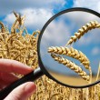 Corny field - czech agriculture - ecological farming — Stock Photo #62873175