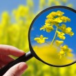 Colza - rapeseed plant - czech agriculture - ecological farming — Stock Photo #62873329