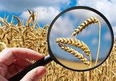 Corny field - czech agriculture - ecological farming — Foto de Stock