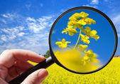 Colza - rapeseed plant - czech agriculture - ecological farming — Foto de Stock