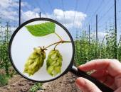 Humulus lupulus in hop garden - czech agriculture - ecological f — Foto Stock