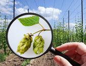 Humulus lupulus in hop garden - czech agriculture - ecological f — Foto de Stock