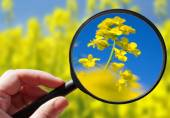 Colza - rapeseed plant - czech agriculture - ecological farming — Foto Stock