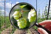 Humulus lupulus in hop garden - czech agriculture - ecological f — Stock Photo