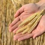 Man holding ears of wheat — Stock Photo #78448460
