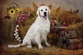 Dog breeds Golden Retriever — Stock Photo