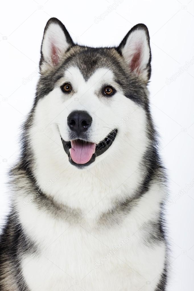 Dog breed Alaskan Malamute on a white background — Stock ...