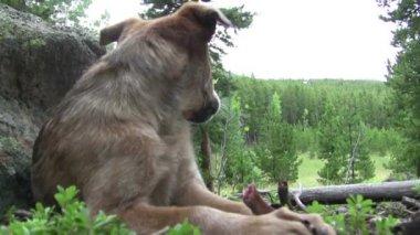 Timid dog feeding himself bone — ストックビデオ