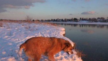 Hond vangen van grote sneeuwballen — Stockvideo