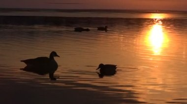 Lake with ducks at sunset — Stock Video