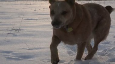 Dog playing in the snow — Stock Video