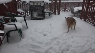 Dog Eating Snow Flakes During Storm — Vídeo de stock