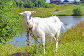 Goat on a meadow — Stock Photo