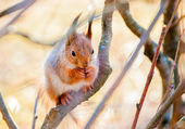 Red squirrel sitting on the branch — Stock Photo