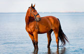 Bay horse standing water and looks — Stockfoto