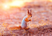 Red squirrel sitting on its hind legs — ストック写真
