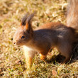 Red squirrel closeup on grass background — Stock Photo #68041135