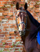 Portrait of bay horse on a background of a brick wall — Stock Photo