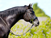 Portrait of a black horse close-up on a background of grass — Stock Photo