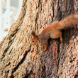 Red squirrel on a tree trunk — Stock Photo #69771451