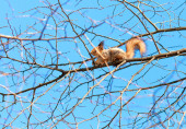 Red squirrel sits high on a tree branch — Stock Photo