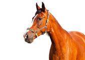 Portrait of bay horse on a white background — Stockfoto