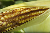 Young corn cob with reltsem at the farmer's field — Stock Photo