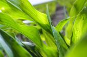 Young corn leaves close-up at the farmer's field. — Stock Photo