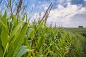 Leaves and tops of corn close up on a farmer's field near a dirt road. — Stock Photo