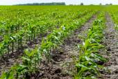 Sprouts rows of young corn at a farmers field. — Stock Photo