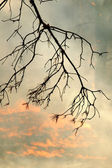 Charred pine branch in forest fires — Stock Photo