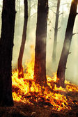 Burning trees in forest fires — Stock Photo
