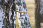 Birch sap — Stock Photo