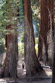 Divided sequoia at Yosemite — Stock Photo