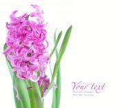 Rosa hyacint — Stockfoto