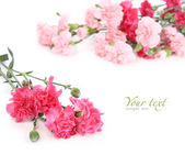 Pink carnation — Stock Photo