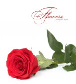 Red rose closeup isolated — Stock Photo
